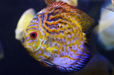 symphysodon discus: Discus fish, yellow Symphysodon Discus in aquarium.