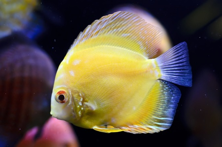 Discus fish, yellow Symphysodon Discus in aquarium. photo