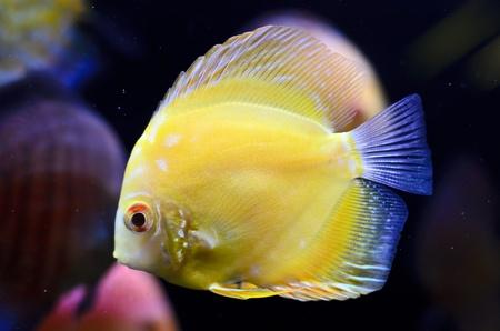 Discus fish, yellow Symphysodon Discus in aquarium. Stock Photo - 16792179