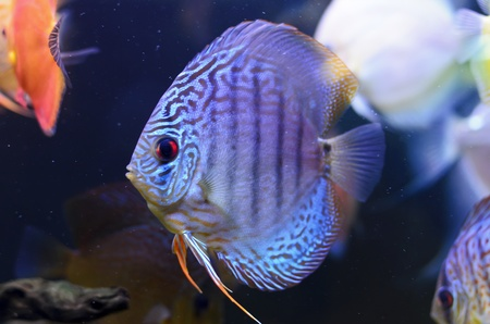Discus fish, blue Symphysodon Discus in  aquarium. photo