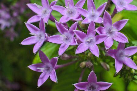 Purple Egyptian star cluster or star flower