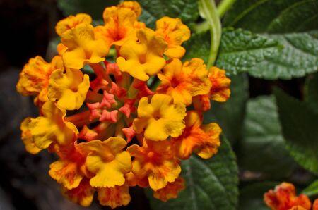 lantana: orange Lantana camara macro