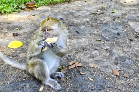 free monkey eating banana at Tang Kuan Hill songkhla thailand Stock Photo - 17696852