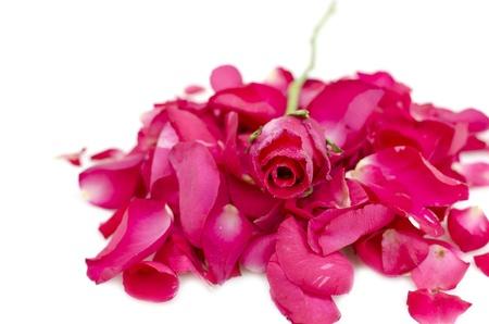 rose on petal stack