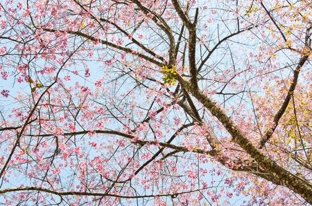 thailand Sakura pink flower in ChiangMai, Thailand