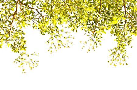 arboles frondosos: Las hojas ramas de fondo (Terminalia ivoriensis A. Chev. Nombre en la ciencia)