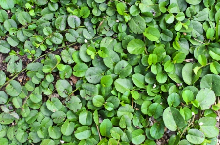 creeping woodsorrel: green plant texture