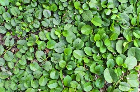 creeping woodsorrel: green plant texture