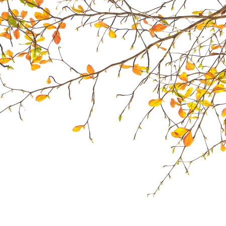 orange leaves and branches on white background