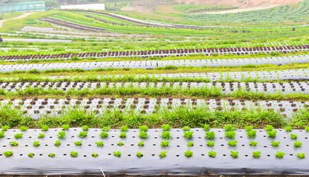 Terraced plant farm at chiang mai , thailand photo
