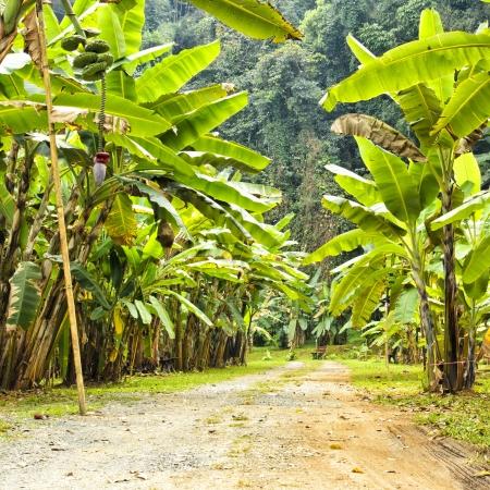 banana tree: banana forest at chiand mai , thailand