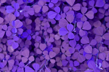 creeping woodsorrel: Creeping ladys sorrel Background