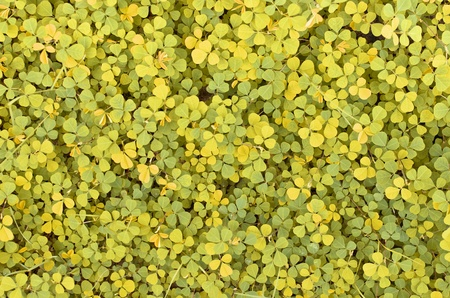 creeping woodsorrel: green texture , Creeping ladys sorrel texture Stock Photo