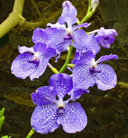 vanda:  purple orchid (vanda hybrid)