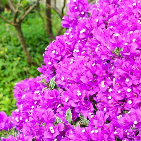 bougainvillea: Pink Paper Flower Bougainvillea hybrida