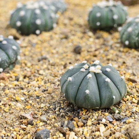 cactus species: Astrophytum asterias cactus species