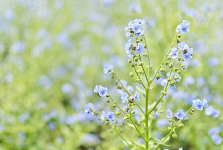 indigo: Indigo flower