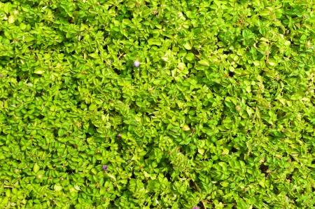 creeping woodsorrel: green leaf texture