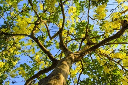 yellow Flowers of Golden Shower Tree in summer.