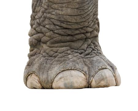 elefant: Elefanten Bein isoliert
