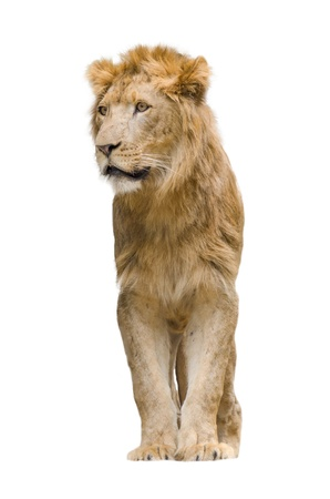 lion tail: sitting lion isolated