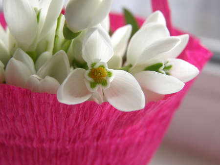 galanthus: Bouquet of snowdrops in focus - these flowers appear as soon as snow starts thawing Stock Photo