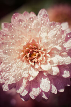 calm background: tender pink chrysanthemum on calm background