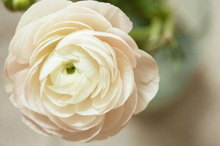 zarte weiße Hahnenfuß Blütenblätter mit freiem Speicherplatz