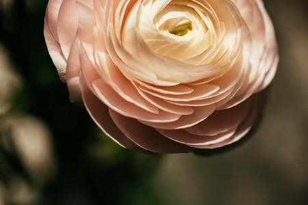 tender: tender pink ranunculus flower petals