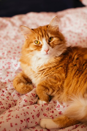 doze: Orange cat is lying on the bed Stock Photo