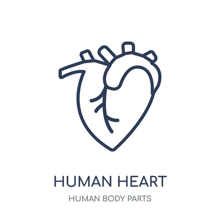 Human Heart icon. Human Heart linear symbol design from Human Body Parts collection.