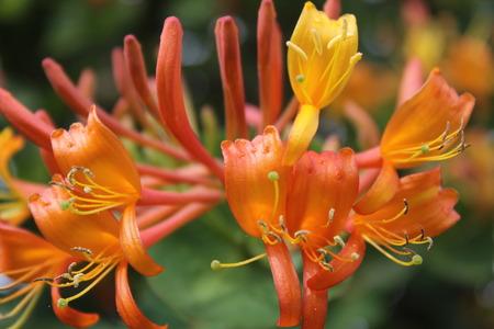 인동 덩굴 꽃