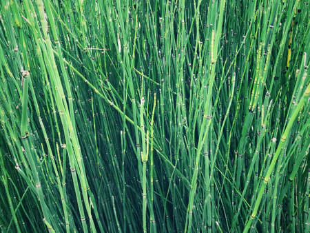 Background of thin, long and green aquatic plants. Also known as water reed.