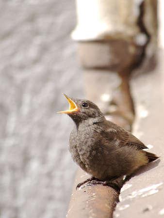 Juvenile Black Redstart Crying for Food