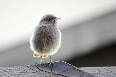 Juvenile Black Redstart Imagens