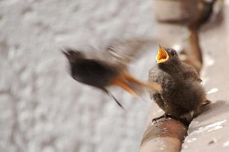 Juvenile Black Redstart after Feed