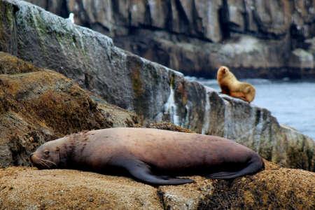 fjords: Sea Lion watching over his mate, Kenai Fjords National Park, Seward Alaska Stock Photo