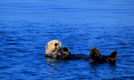 Sea Otter floating on his back in the ocean eating an oyster