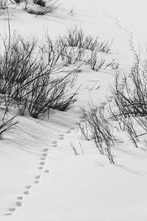 animal tracks: Le tracce degli animali sulla neve di Grand Tetons parco nazionale di Teton