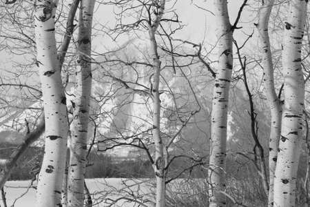 Grand teton national park tetons through aspen birch trees photo