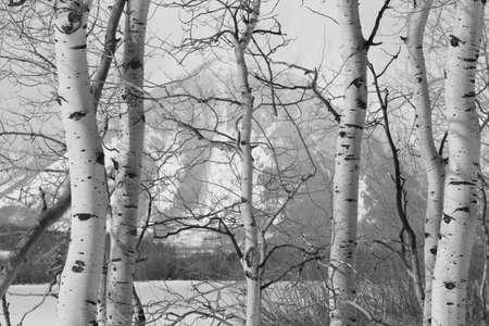 black and white forest: Grand teton national park tetons through aspen birch trees