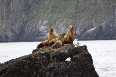 alaska: Sea Lions in Kenai Fjords National Park, Seward Homer Alaska Stock Photo