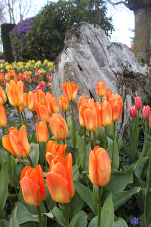 Orange, pink, red, yellow, tulips in garden with tree stump and rock Stock Photo - 18048811