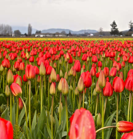 skagit: Tulips in a field red pink white green Skagit valley, wasington