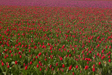 sprung: Tulips in a field red pink white green Skagit valley, wasington