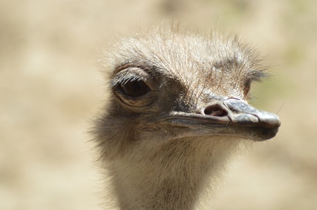 Ostrich looking into the distance