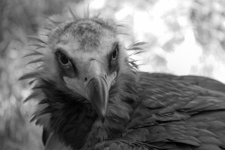 A black and white close up of a vulture