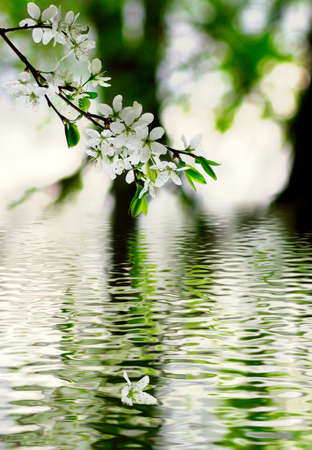 image of a blossoming apple-tree branches on a  water background Stock Photo