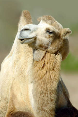 Imagev of camel in zoo closeup