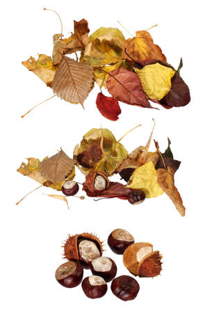 isolated image of dried leaves and chestnuts on white background